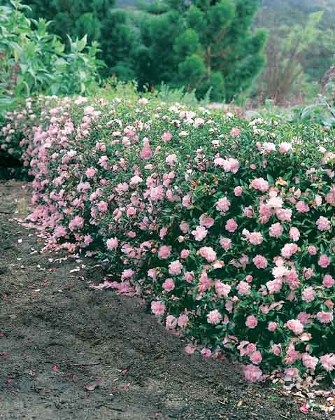 Camellia Sasanqua Paradise Petite Pink